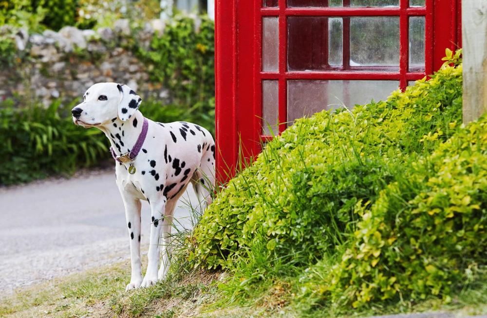 British Dalmatian