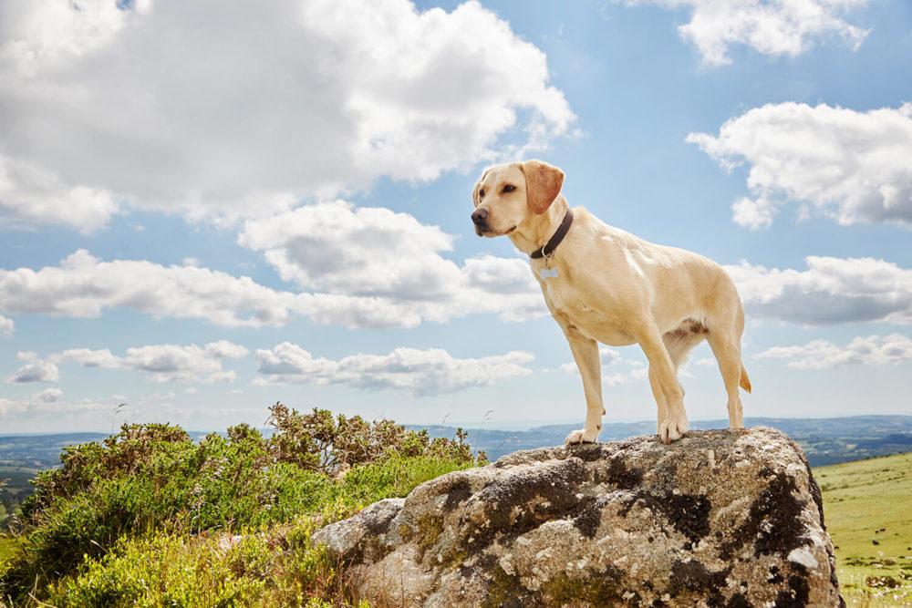 Devon dog