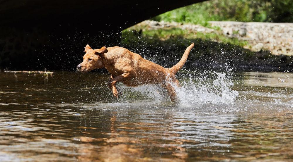 Jumping labrador