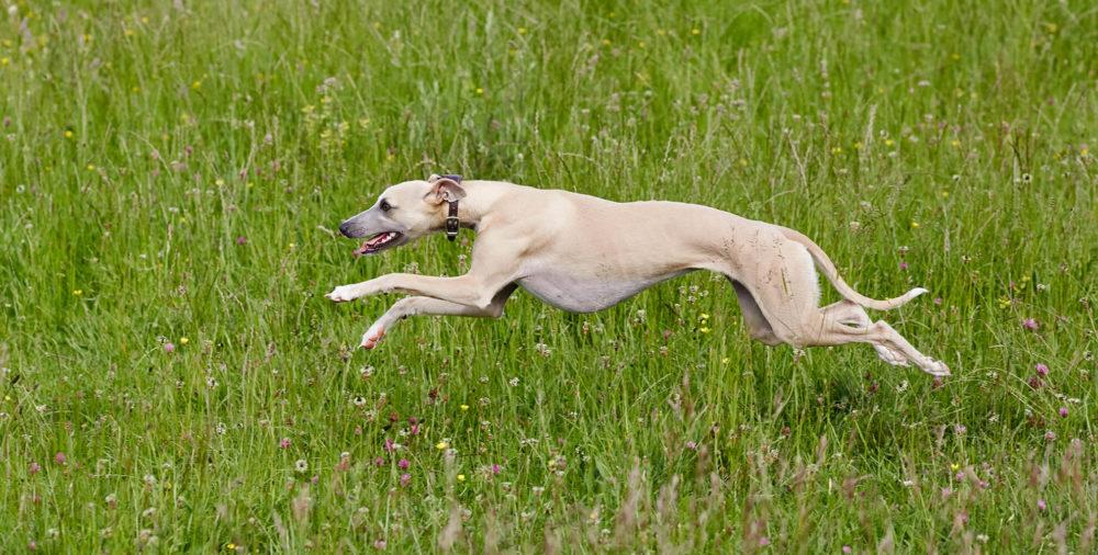 Whippet running